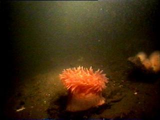 A colourful Dalia anemone